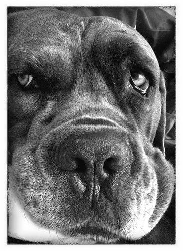 Our late Cane Corso Blue who passed to the Rainbow Bridge Aug 2014 age 11yrs. Deeply missed