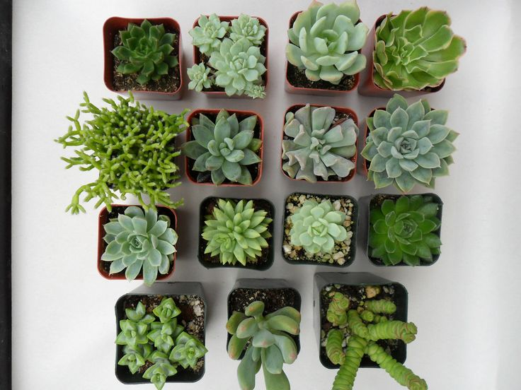 A Collection Of 6 Succulent Plants, Great For Terrarium Projects, Centerpieces, Container Gardens, Urban Chic. $18.00, via Etsy.