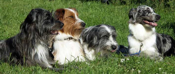 Breed Of Small Dogs Originating In The Netherlands