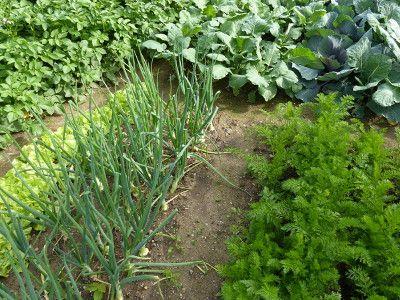dobre sąsiedztwo roślin i warzyw