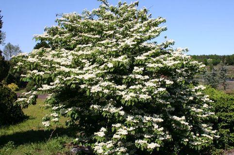 Japanischer Schneeball 'Mariesii' - Viburnum plicatum 'Mariesii'