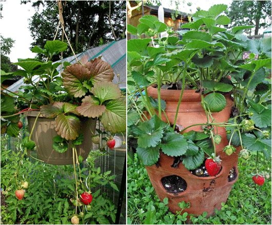 Tips for planting in a strawberry pot garden ideas for Strawberry garden designs