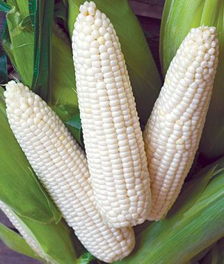 """Turn one bed into a cornfield--- You can plant corn in a staggered pattern that will yield 4 to 6 ears of corn a week for four weeks. Here's how:    To grow a little corn field in a 4×4' bed, you'll want to plant one row at a time for a staggered crop. Corn likes to be planted deeply, so get 16 disposable cups that are about 6"""" tall and cut the bottoms out of them. Divide your bed into 16 square feet. Beginning with the"""