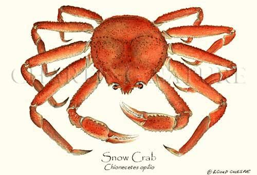 Sustainability -Snow Crab Shellfish Illustration by Artist Brenda Guild Gillespie, Giclee Art Print $19.95.