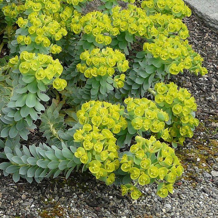 Euphorbia myrsinites - Euphorbe de Corse rampante