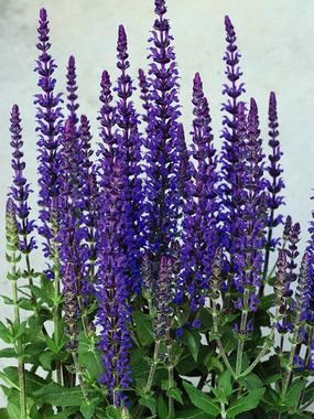 """** Salvia - Merleau Blue. Perennial in zones 4-8, full sun to mostly sunny. 12-16"""" in height. Deer and rabbit resistant. Flowers early summer to fall."""