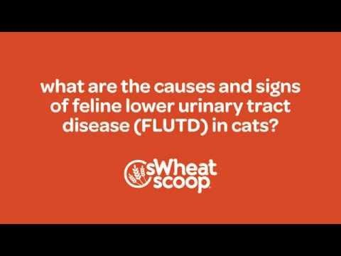 what are the causes and signs of Feline Lower Urinary Tract Infection (FLUTD) in cats? - YouTube