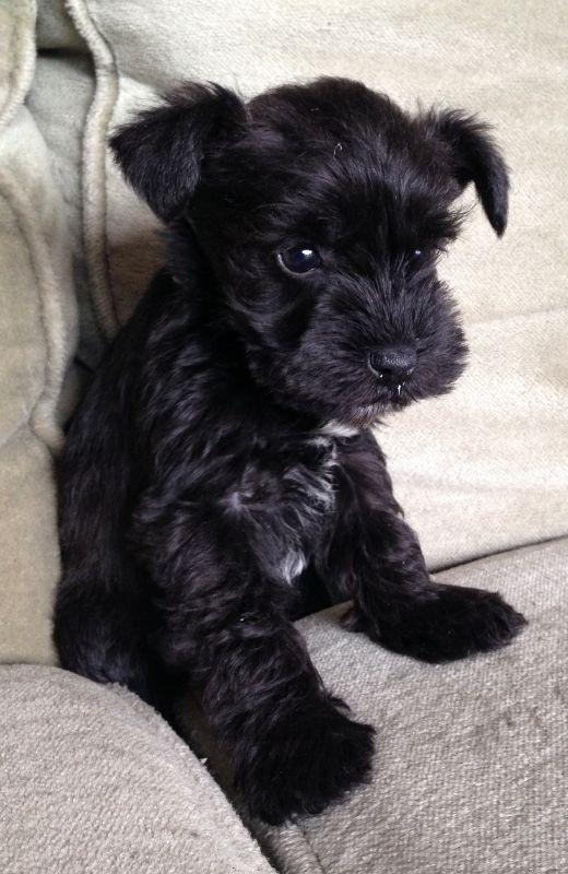 Sweet little pup #miniatureschnauzerpuppy
