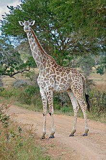 Masai Giraffe - Kenya