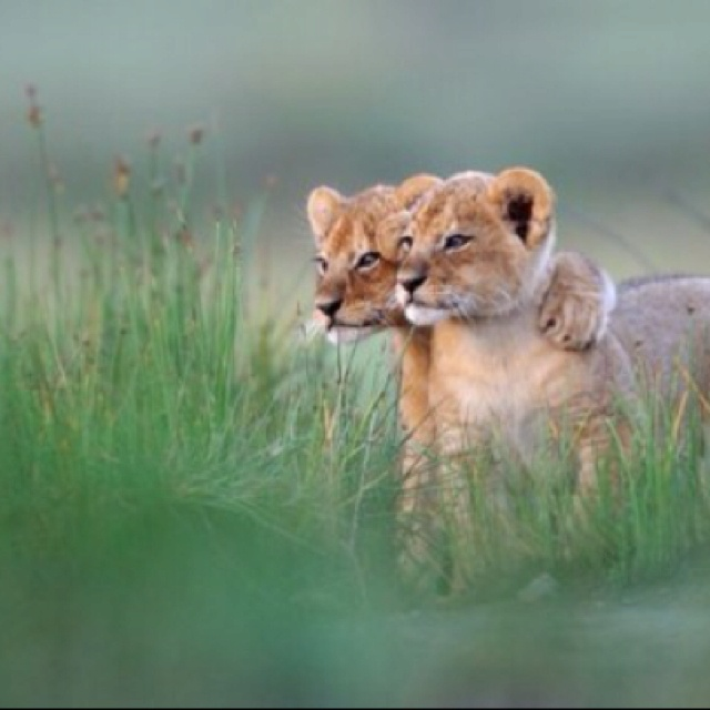BuddiesBig Cat, Food For Thoughts, Twin Brother, Peter O'Tool, Friends Forever, My Friends, My Dads, Lion Cubs, Adorable Animal