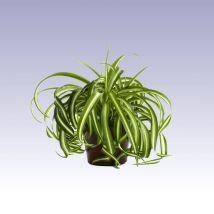Csokrosinda, zöldike, Clorophytum comosum 20 cm magas 12cs