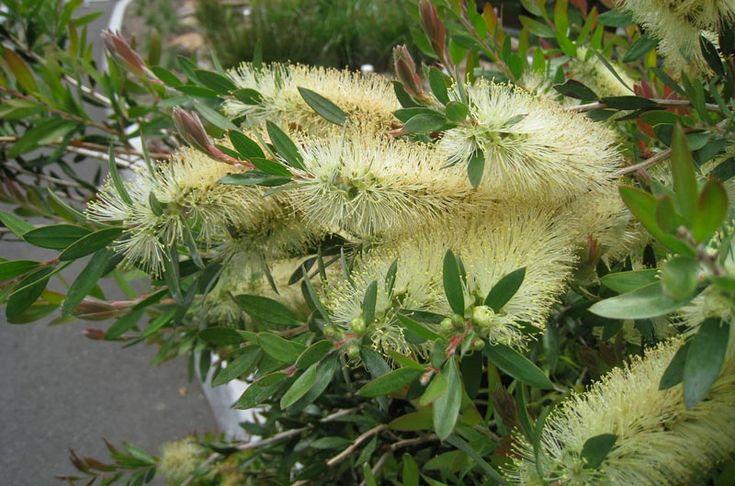 Callistemon_pallidus feature plant for the birds