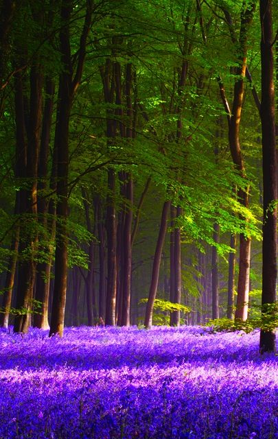 Bluebell Spring, Micheldever Wood, Hampshire, England