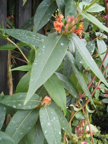 Groenblijvende klimplant - Kamperfoelie (Lonicera henryi )