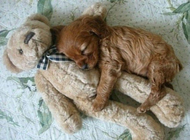puppy photographs | This cute little puppy doesn't like to sleep alone, he prefers to ...