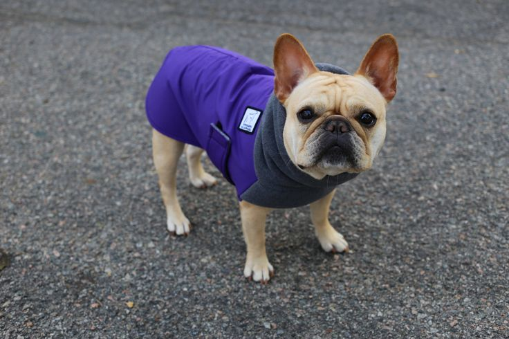 Lucie the French Bulldog loves wearing her Purple Winter Coat Dog Coat Dog Clothes! Protect your dog with quality and comfort at www.k9apparel.com