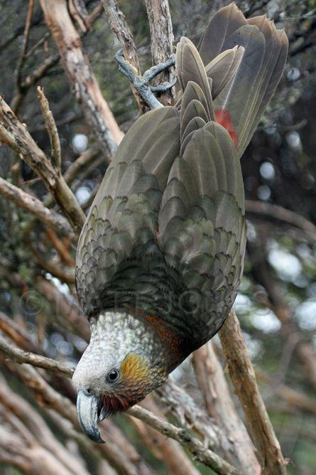 Kaka, New Zealand, Stewart Island