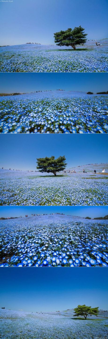 4.5 Million Baby Blue Eyes Just Bloomed In Japan's Hitachi Seaside Park (By Hidenobu Suzuki)