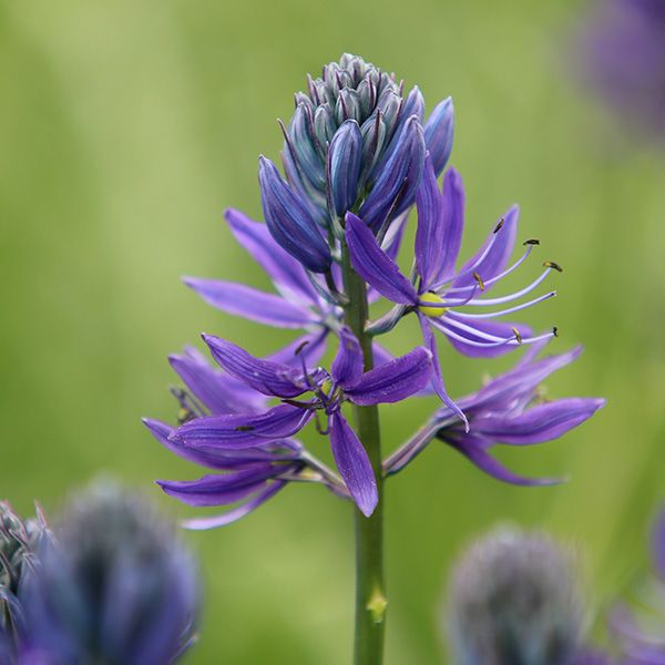 Buy camassia bulbs Camassia quamash: Delivery by Waitrose Garden in association with Crocus