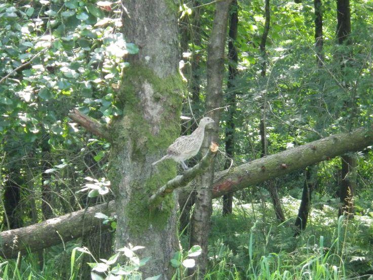 Bird, pheasant