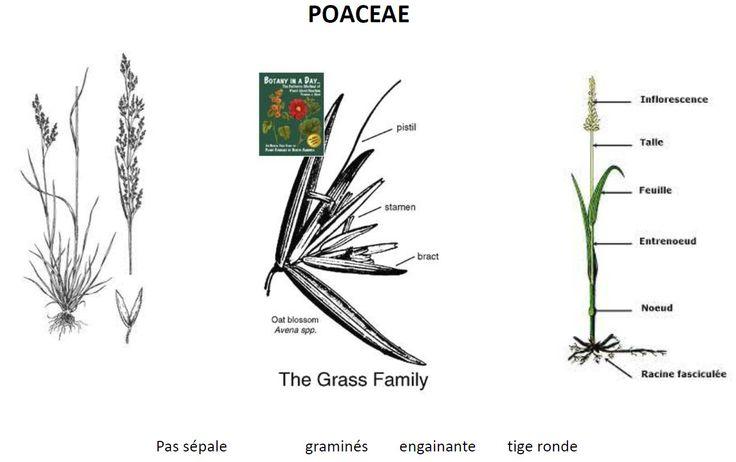 La famille des Poaceae, appelée également Gramineae, est un rang taxinomique de plantes de l'ordre des Poales. Le nom d'usage est Poacées ou Graminées. Le nom actuel est issu du genre Poa.  Rang : Famille Classification : Poales Sous-ordres : Ischaemum, Apera, Sporobolus, Cinna