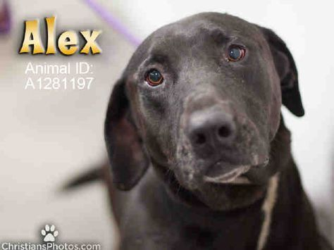 Alex:  ID#A1281197  My name is Flex and I am a neutered male, black and white Labrador Retriever and American Staffordshire Terrier.  The shelter thinks I am about 7 years old. I weigh approximately 81 pounds.  I have been at the shelter since Aug 06, 2017.