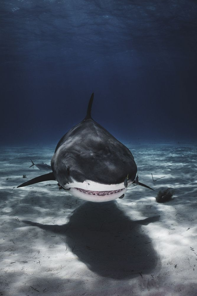Sharks are Apex predators needed to keep our oceans healthy and in balance. Photo by Ellen Cuylaerts.