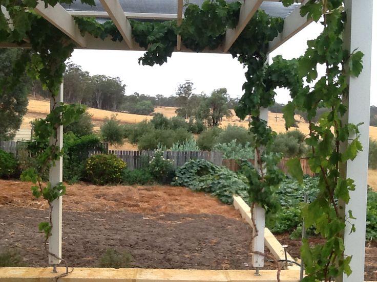 Pergola with grapevines