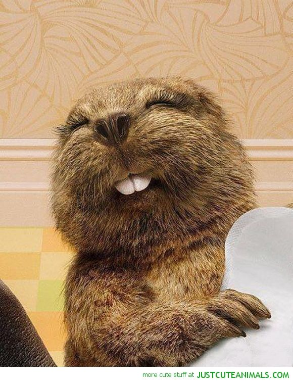 17 Best Images About I Love Beavers So Cute On