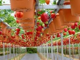 Strawberry Garden in Bandung
