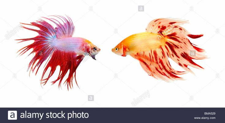 Image result for colorful fish fins