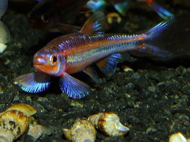 Les 25 meilleures id es de la cat gorie poisson aquarium for Poisson eau froide aquarium