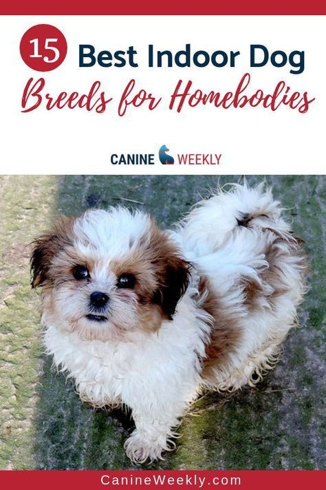 15 Best Indoor Dogs for Homebodies in 2020 Pets dogs