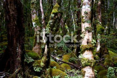 Kahurangi National Park Flora (Nothofagus menziesii) Royalty Free Stock Photo