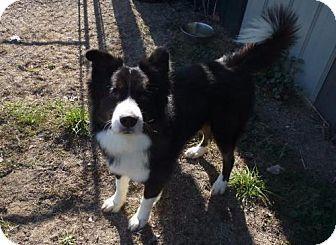 Warsaw, IN - Border Collie/Husky Mix. Meet Blazer, a dog for adoption. http://www.adoptapet.com/pet/17009368-warsaw-indiana-border-collie-mix