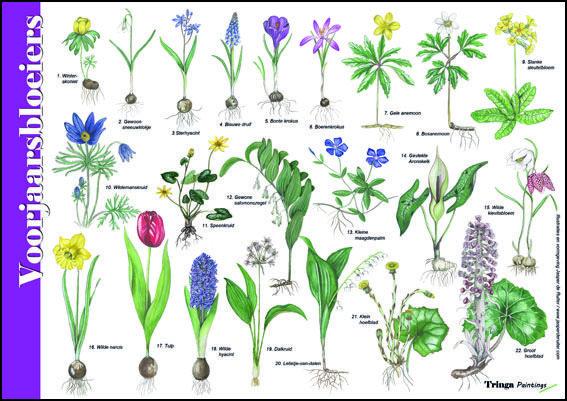 Herkenningskaart / Zoekkaart Voorjaarsbloeiers. Met deze geplastificeerde kaart breng je de vroege voorjaarsbloeiers op naam.