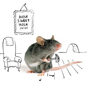 Fresh Mice In Basement Ceiling