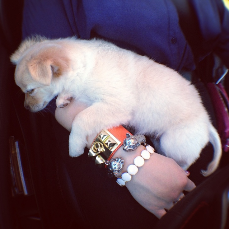 My #ArmCandy included a chihuahua today.