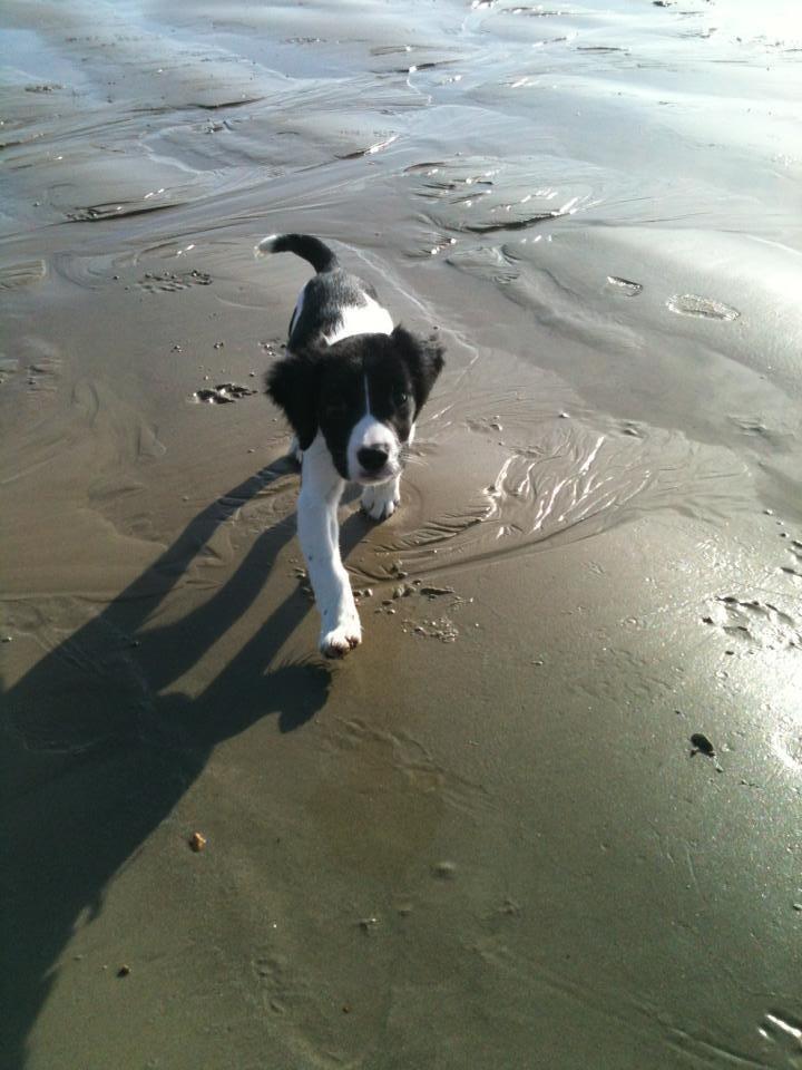 My springador pup at 3months