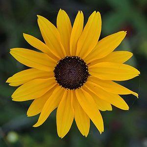 Éden - | Sementes de Flor - Margarida Amarela (Rudbeckia): 20 Sementes