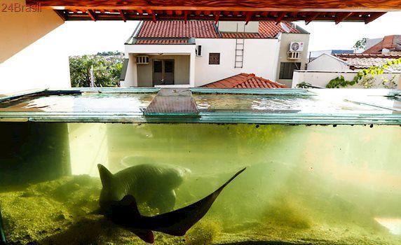 Do isopor de cerveja aos 20 kg: Criado há três anos em casa no interior de SP, tubarão é resgatado