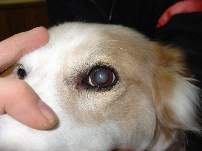 Cloudy Eyes In Dogs Is It Cataracts Or Something Else