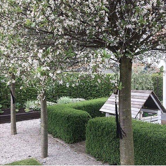 """40 gilla-markeringar, 3 kommentarer - Vit trädgård-Evalill Isaksson (@vittradgard) på Instagram: """"En morgon i början på maj i år...  #klotkörsbär"""""""
