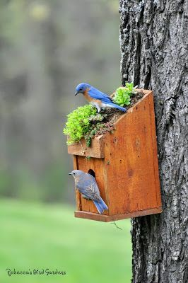 Bluebirds 2013.  Love the plant growing on the birdhouse.