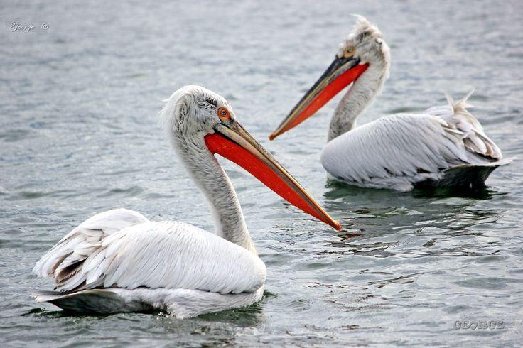 https://flic.kr/p/UWciV9 | Pelicans of lake Volvi , Macedonia northern Greece | Pelicans of lake Volvi , Macedonia northern Greece  Dalmatian Pelican (Pelecanus crispus)  Αργυροπελεκάνοι