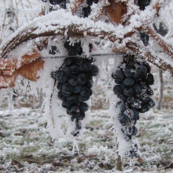 uve per il vino del ghiaccio della valsusa