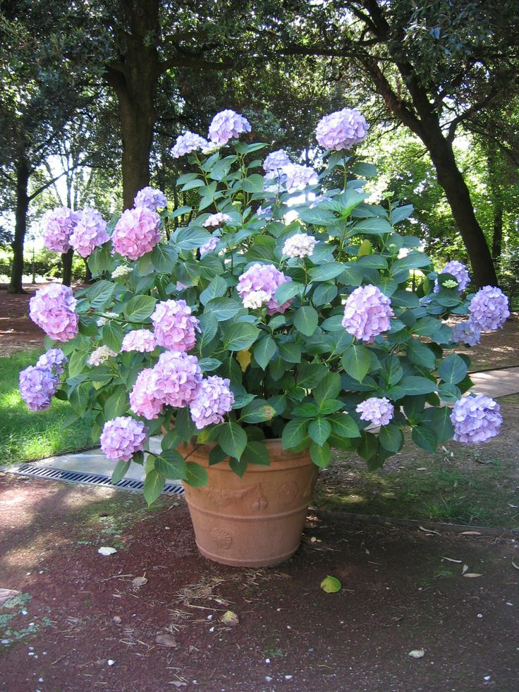 Le nostre bellissime #Ortensie Our lovely #hydrangeas http://www.montecorneo.com/appartamenti.php