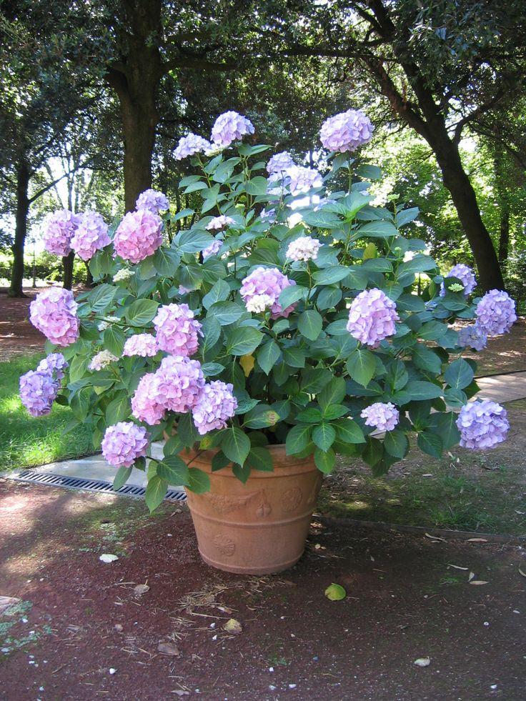 Le nostre bellissime #Ortensie Our lovely #hydrangeas http://www.montecorneo.com/appartamenti.php
