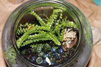 Lemon Button Fern | Terrarium Plants You Can DIY With Your Kids