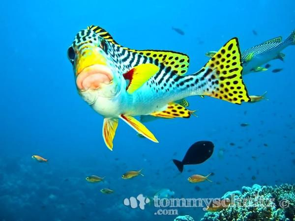 Tubbataha reef sweetlips fish under the sea for Sweet lips fish